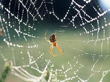 Паук спускается на паутине