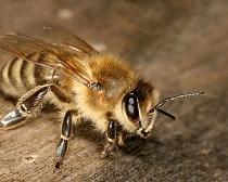 пчела в доме