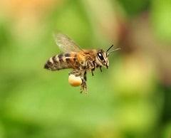 пчела залетела - примета