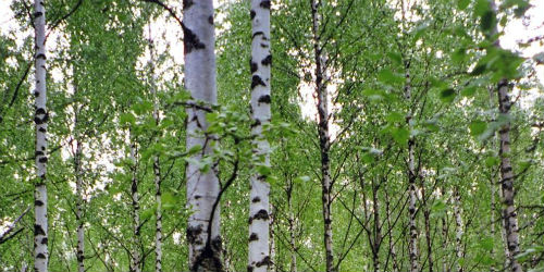 forest-of-birch-trees