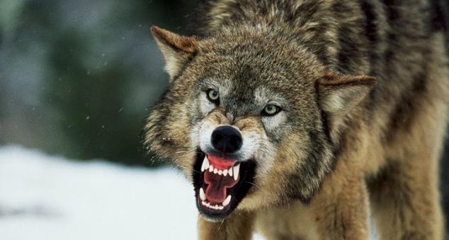 К чему снятся волки: стая или по одиночке